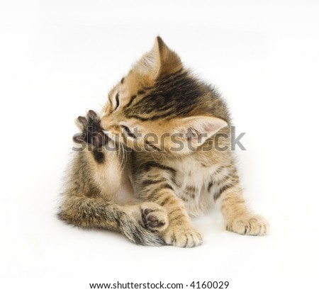 A tabby kitten bites at its claws white sitting on a white background