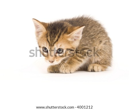 A tabby kitten is ready to pounce on a white background