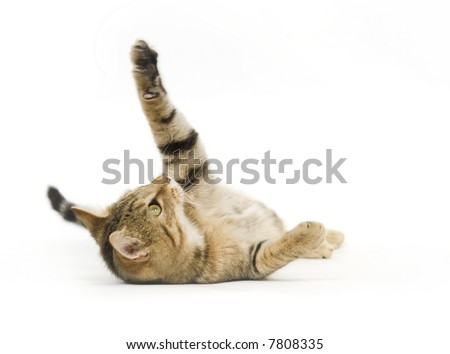 A tabby kitten lays on its back while playing on a white background - stock photo