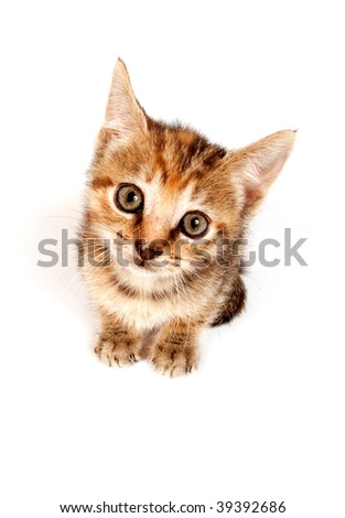A tabby kitten looking up on white background. - stock photo