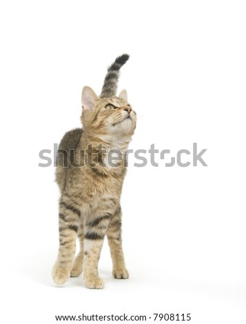 A tabby kitten looks up and is ready to jump on a white background - stock photo