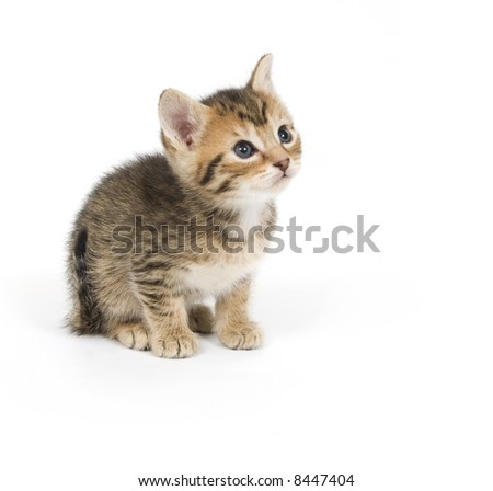 A tabby kitten looks up while sitting on a white background