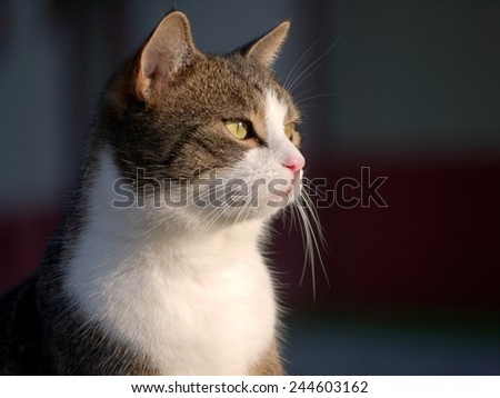 A tabby/white cat.