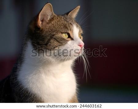 A tabby/white cat.  - stock photo