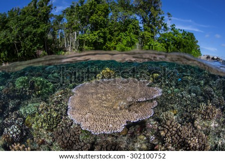 A table coral (Acropora sp.) grows in shallow water in the Solomon Islands. Coral reefs in this Melanesian region are exceedingly diverse. The area also offers great scuba diving and snorkeling. - stock photo
