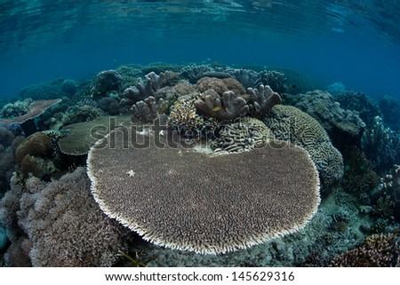 A table coral (Acropora sp.) grows on a healthy, diverse coral reef in the Pacific Coral Triangle, the most diverse area for marine species on Earth. - stock photo