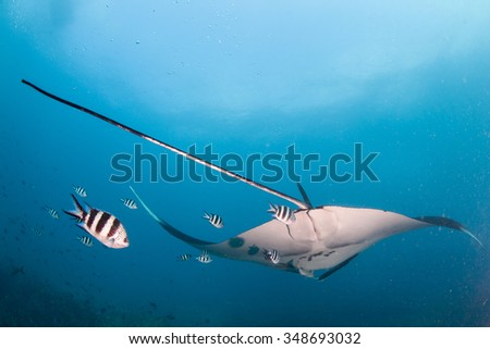 A tail shot of a manta ray drifting away followed by a group of fish - stock photo