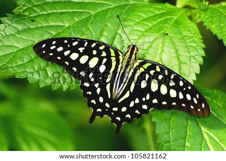 Tailed Jay butterfly or Graphium Agamemmon 1 - stock photo