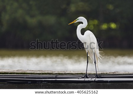 A tall white great egret (Ardea alba) stands on a pier with its head and s-curve neck in profile. - stock photo