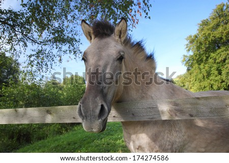 a tarpan horse looking over a wooden fence - stock photo