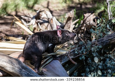 A Tasmania devil stand on a log - stock photo