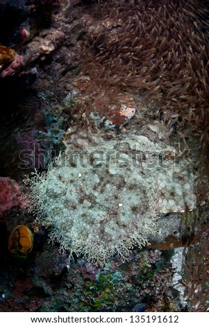 A Tasseled wobbegong (Eucrossorhinus dasypogon) uses effective camouflage to blend into its surroundings near a reef in Raja Ampat, Indonesia.  This is an unusual shark species.