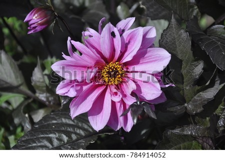 Tatty purple flower yellow center against stock photo 784914052 a tatty purple flower with a yellow center against a background of dark leaves mightylinksfo