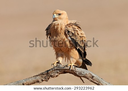 A tawny eagle (Aquila rapax) perched on a branch, Kalahari desert, South Africa - stock photo