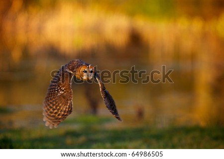 A tawny owl flying with a autumn colour background - stock photo