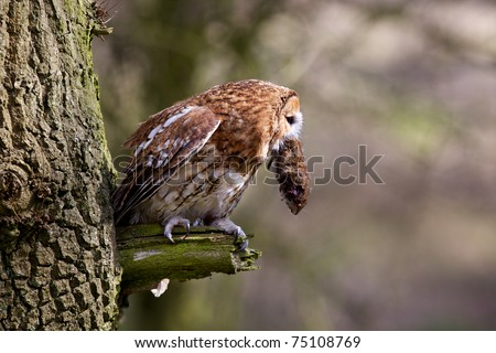 A Tawny Owl in a tree eating a vole - stock photo
