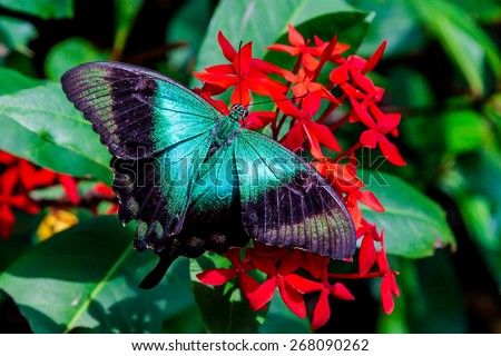 A teal colored butterfly with wings spread on a bunch of red flowers - stock photo