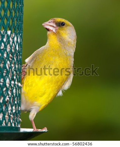 A telephoto of a beautiful greenfinch in summertime