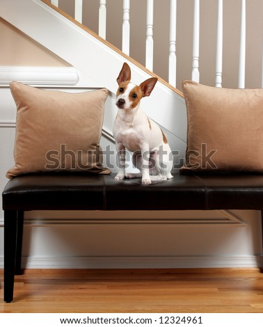 A Terrier tilting his head to hear something and sitting on a leather bench.