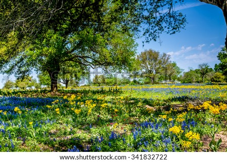 A Texas Field Full of a Variety of Wildflowers, Including Bright Yellow Cut Leaf Groundsel (Packera tampicana), White Poppies, and a Few Bluebonnet (Lupinus texensis) Wildflowers. - stock photo