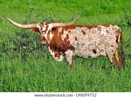 A Texas Longhorn cow with an exceptionally pretty face and coat.  - stock photo