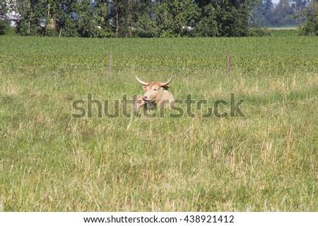 A Texas Longhorn found on a Canadian farm/Canadian Texas Longhorn Cow/A Texas Longhorn found on a Canadian farm.  - stock photo