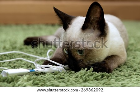 A thai cat is a traditional or old-style siamese cat, Siamese cat in natural domestic background, playing cat, young cat - stock photo