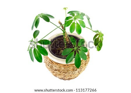 a the image of a flower in a pot of room schefflera