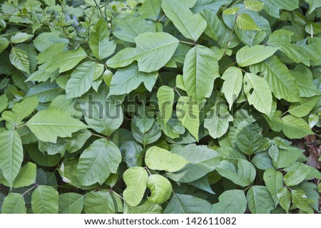 A thick patch of thriving poison ivy plants - stock photo