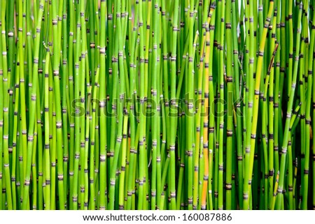 A thicket of brilliant green horsetail stalks - stock photo