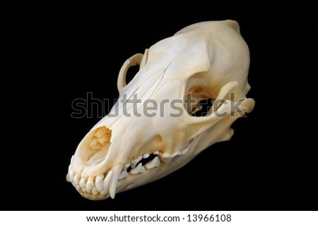 A three-quarters view of a real coyote skull on a black background, with sharp teeth and finely detailed skeletal structure. - stock photo