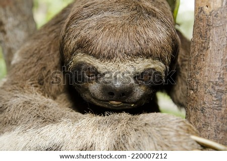 A three-toed sloth, native to the Amazon Rainforest.   - stock photo