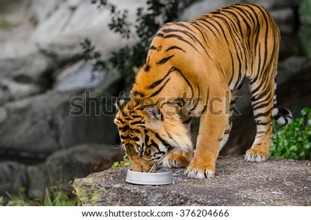 A tiger having its food. - stock photo