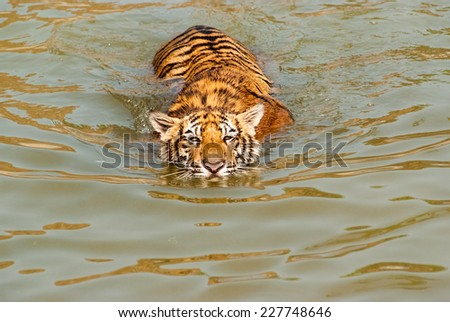 A tiger is swimming in a river - stock photo