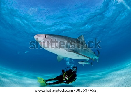 A tiger shark glides over the top of a SCUBA diver, flashing his metallic stripes. - stock photo
