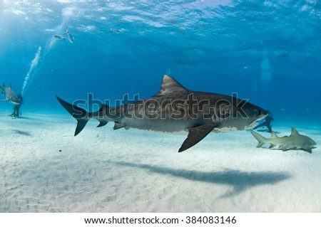 A tiger shark with beautiful markings swimming amongst SCUBA divers and lemon sharks. - stock photo