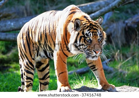 A tiger stalking its prey, fully alert and hungry - stock photo