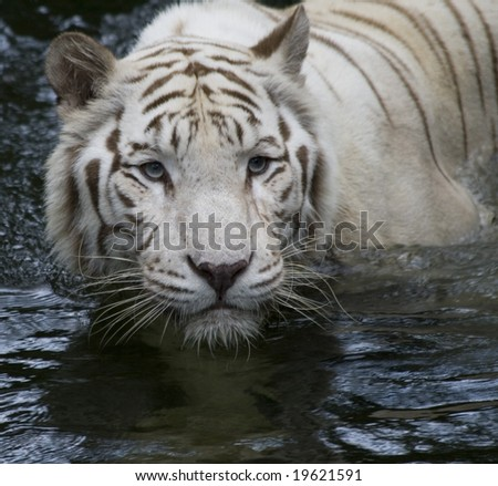 A tigress sizes up her prey - stock photo