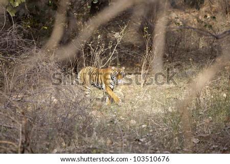 A tigress walking through Ranthambore National Park - Rajasthan, India - stock photo
