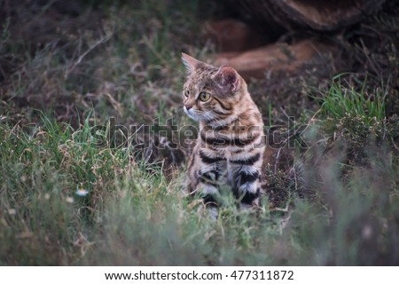 A timid black-footed cat staring nervously