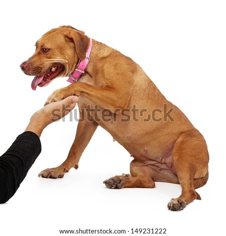 A timid mixed large breed dog against a white backdrop extending a paw to shake the hand of a rescue volunteer. - stock photo
