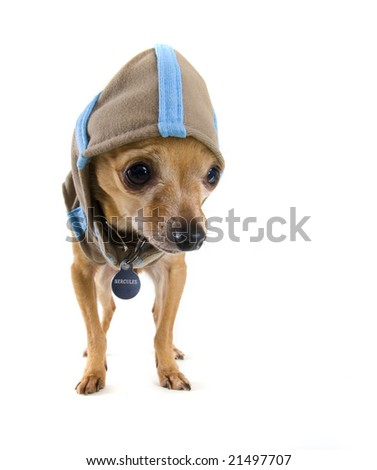 a tiny chihuahua dressed in a cute hoodie
