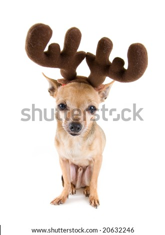 a tiny chihuahua dressed up as a reindeer - stock photo