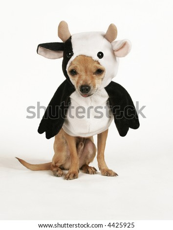 a tiny chihuahua dressed up in a cow costume - stock photo