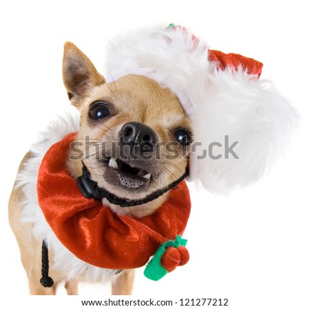 a tiny chihuahua dressed up in a santa outfit - stock photo
