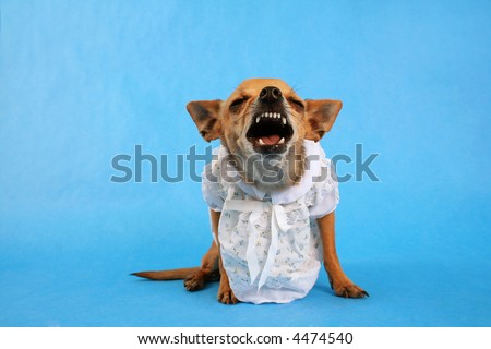a tiny chihuahua dressed up in a tiny dress - stock photo