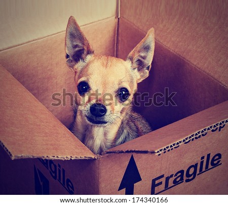 a tiny chihuahua in a box marked fragile done with a vintage retro instagram filter - stock photo