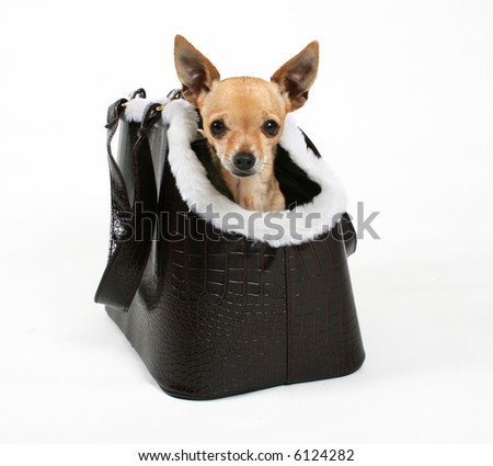 a tiny chihuahua in a travel purse - stock photo