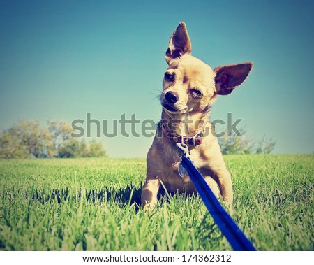 a tiny chihuahua on a grassy hill done with a vintage retro instagram filter - stock photo