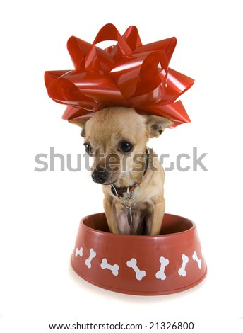 a tiny chihuahua sitting in a big red bowl - stock photo